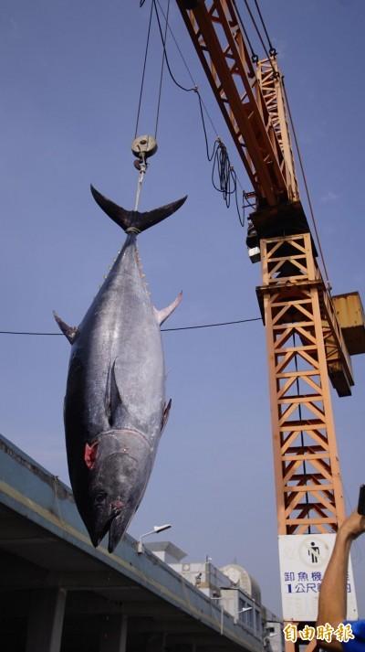 屏東第一鮪!從漁7年船長抓200公斤黑鮪火速返港
