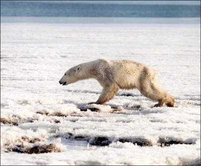迷路北極熊 流浪700公里