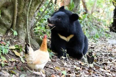 台灣第一隻台灣黑熊成功野放!南安妹子月底前可回家了