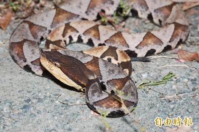 板橋鬧區有毒蛇! 男遭百步蛇咬傷