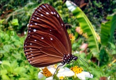 《小檔案》中大型蝶種 前翅背面紫色