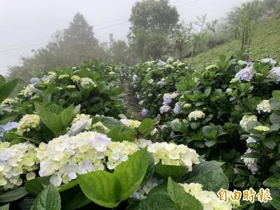 太麻里金針山不只金針花 近600株繡球花陸續開到7月