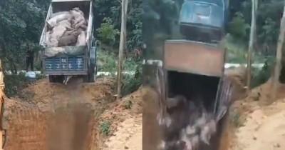 同埋!中國貨車傾倒病死豬忘開尾門 連車帶豬摔入坑