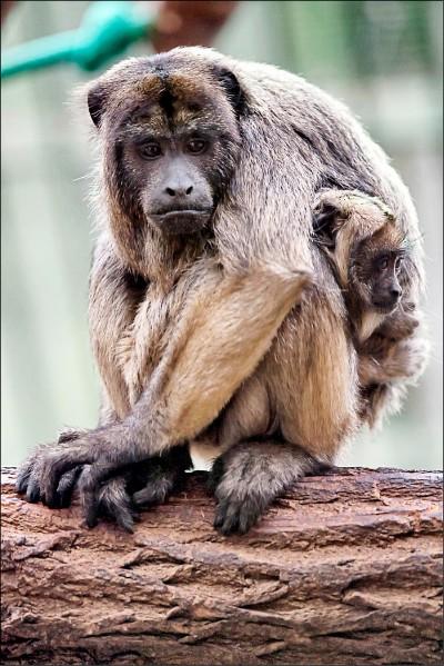 哺乳類動物 百年內將加劇變小