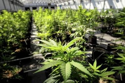 謠言終結站》大麻在台灣合法了?食藥署這樣說!
