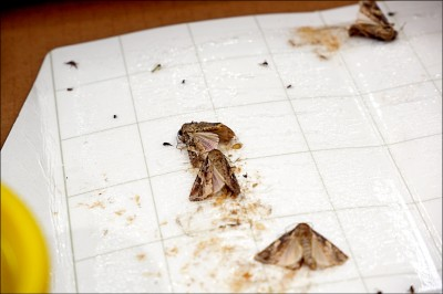 秋行軍蟲蔓延 馬祖澎湖捉到成蟲