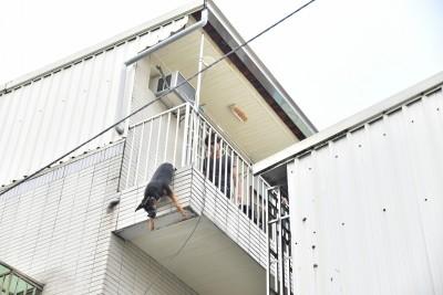 黑狗卡欄杆吊半空吐血慘死 嘉縣家畜疾病防治所介入調查