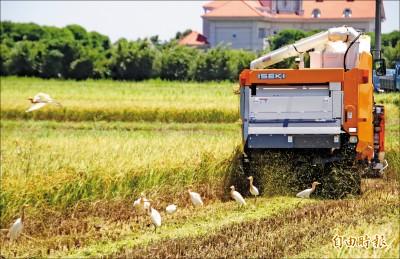 埃及聖䴉大入侵 白鷺鷥覓食遭威脅