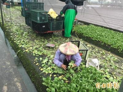雨彈連發 雲林菜農叫苦:菜都爛了!損失至少3成