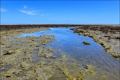 《桃園》觀新藻礁生態豐 第2測站在新屋溪口