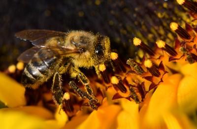 生態悲歌 巴西3個月內死5億隻蜜蜂