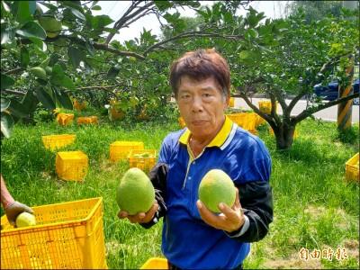 西湖文旦柚搶收 柚農︰品質無差