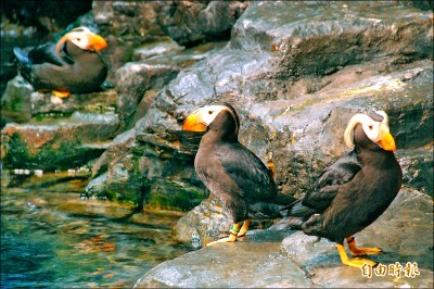 鳳頭海鸚鵡報喜 超萌「黑毛球」吸睛