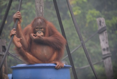 印尼野火煙霾不只嗆人 瀕危紅毛猩猩呼吸道感染
