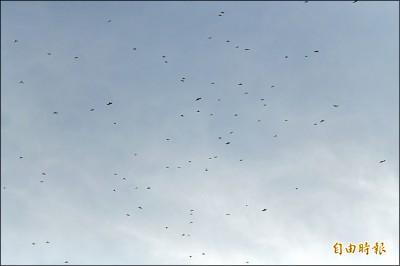 赤腹鷹群遮天 12萬隻南飛過境