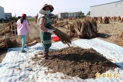 憂氣候影響產量 安定胡麻農民傳解約契作