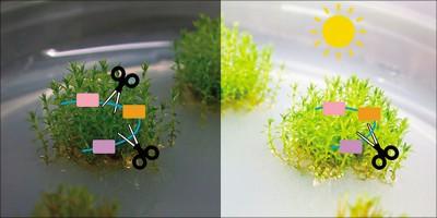植物為何不開花?中研院找出「光敏素」調控發育