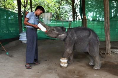 緬甸小象成功獲救  凸顯盜獵危機仍在