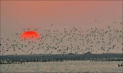 黑腹燕鷗飛舞 北門潟湖夕陽絕美