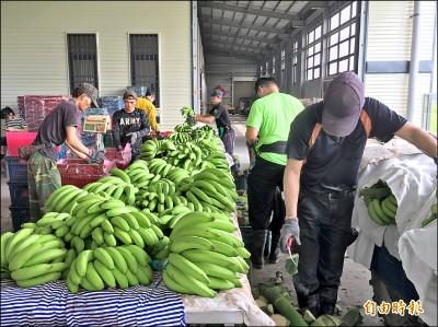 香蕉收入保險 雲林仍觀望
