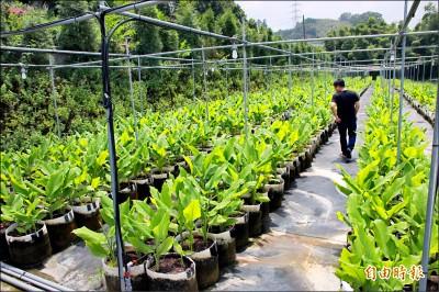 吸引青農返鄉 南庄試種紅薑黃