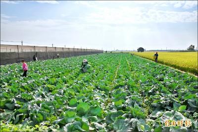 復耕超種葉菜 近期爆量上市