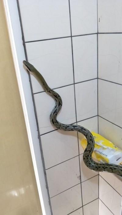 驚!他廁所上一半遇見蛇 網友:保育類別殺牠