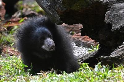 愛吃懶熊鞭的怪盜…印度最想抓的老虎盜獵者落網了