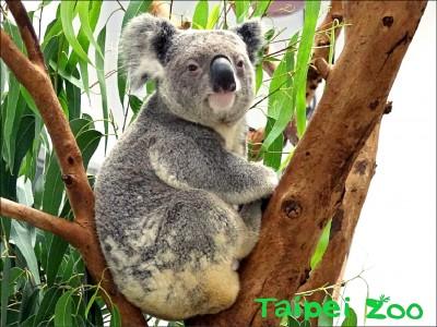 澳洲小鮮肉左擁右抱 2隻母無尾熊生寶寶了