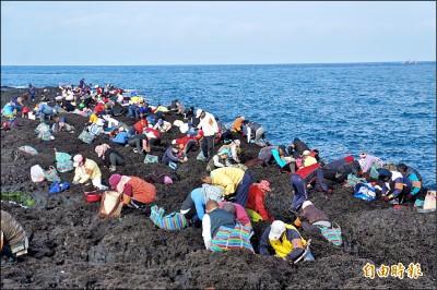 黑金紫菜首採 姑婆嶼擠滿人