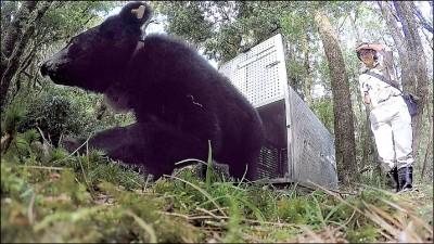 廣原小熊10月野訓成功 「姆拉斯」野放回家了