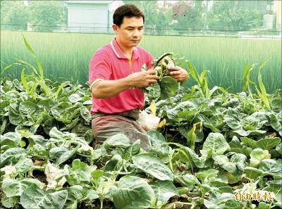 憂梅雨水傷 農民下田搶收蔬菜