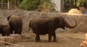 看了心碎! 炸彈來襲 象群包圍守護小象