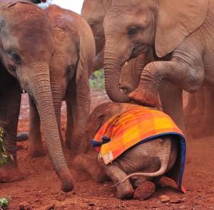 死亡率超過出生率 非洲象存亡瀕危