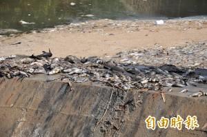 冷水溪「酸」了 大鱸鰻、琵琶鼠魚也陣亡