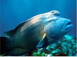 奇珍異饈蘇眉魚老饕愛 魚販餐廳違法賣