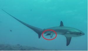 鯊魚生寶寶!全球第一張長尾鯊分娩照曝光