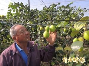 牛奶蜜棗像青蘋果 74歲果農好神!