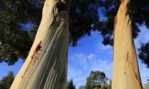 「你是我最愛的樹」!澳洲人做環保 給樹林寫情書