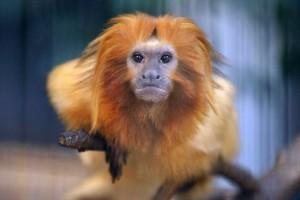 瀕臨絕種猴子動物園失足 被水獺吃下肚