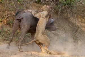 萬獸之王意外敗北 與水牛大戰雙雙死亡