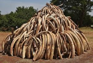 親自燒毀15噸象牙  肯亞總統向盜獵宣戰