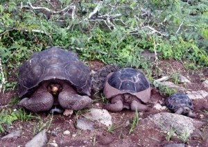 加拉巴哥瀕絕種象龜 百年來首出現新生寶寶