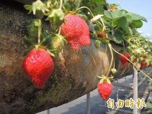 上百網友團購草莓遭騙 業者捲走26萬潛逃