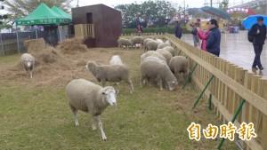 羊來了!清境羊群現身烏日主燈區