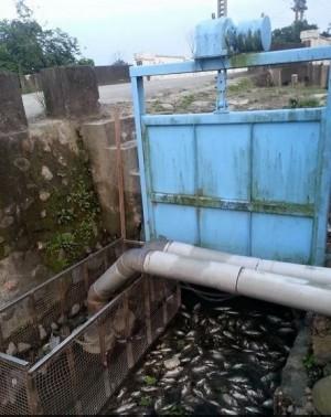 水源遭污染?宜蘭親水公園出現近百隻死魚