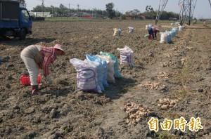 日薪漲破千元 大宗農產採收仍缺工