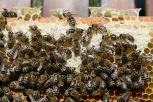 公寓庭院當養蜂場 法官:「非危險動物」判不罰