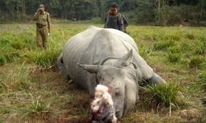 可憐!南非動物園先割犀牛角 預防盜殺