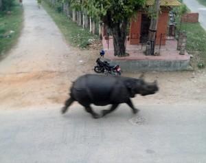 尼泊爾犀牛街頭暴走 釀1死6傷